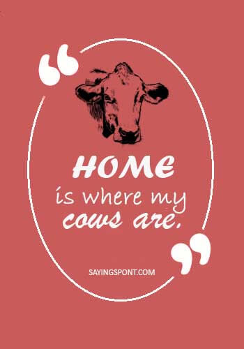 Cow Quotes - Home is where my cows are.