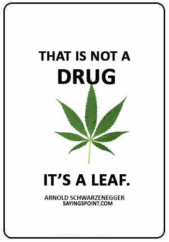 "funny smoking weed quotes - ""That is not a drug, it's a leaf."" —Arnold Schwarzenegger"
